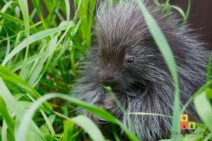 2013-05-11 Porcupine 'Charlotte' in the grass logo